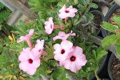 Цветок азалии красив в Таиланде Стоковая Фотография RF