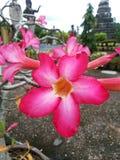 Цветок азалии Стоковое Изображение RF