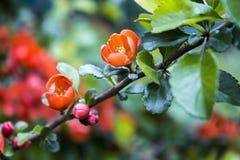 Цветок айвы Стоковые Изображения RF