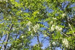 Цветок акации Стоковые Изображения RF