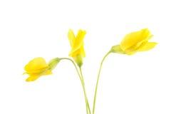 Цветок 3 акаций стоковое изображение rf