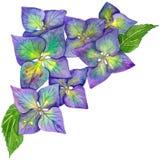 Цветок акварели гортензии голубой и желтый Стоковое Фото