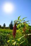 Цветок амаранта в Солнце Стоковые Изображения RF