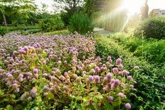 Цветок амаранта глобуса Стоковое фото RF