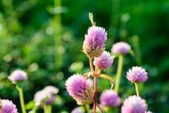 Цветок амаранта глобуса Стоковое Изображение RF