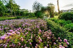 Цветок амаранта глобуса Стоковые Фото