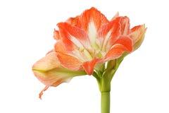 Цветок амарулиса против белизны стоковое фото rf