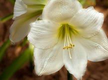 Цветок амарулиса Стоковое фото RF