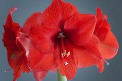 Цветок амарулиса стоковое изображение