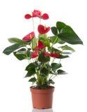 цветок антуриума Стоковые Фото