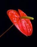 цветок антуриума Стоковые Изображения