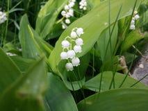 Цветок ландыша Стоковая Фотография