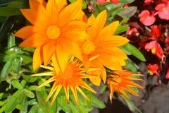 цветок, апельсин, бутон цветка, развивается, солнцецвет, зеленый цвет, лето, цветки, лепесток, флора, земледелие, макрос, маргари Стоковое Фото