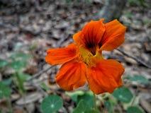 Цветок апельсина Derpy Стоковая Фотография
