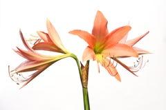 Цветок апельсина Dicut Стоковые Фото