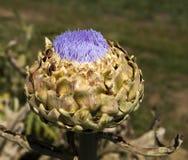 цветок артишока Стоковое Фото