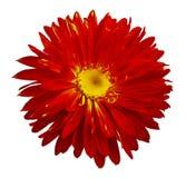 Цветок астры осени красно-желтый на белизне изолировал предпосылку с путем клиппирования Зацветите для дизайна, текстуры, открытк стоковые изображения rf