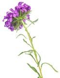 цветок астр Стоковое Изображение