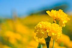 Цветок африканского ноготк в ферме Стоковые Фото