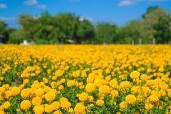 Цветок африканского ноготк в ферме Стоковая Фотография