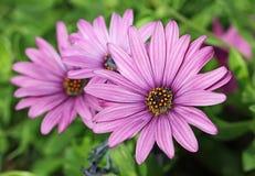 Цветок африканской маргаритки Стоковая Фотография