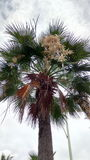 Цветок ладони Стоковые Изображения RF