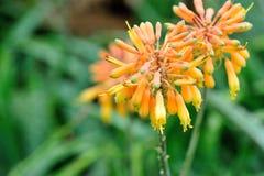 Цветок алоэ стоковое фото rf