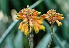 Цветок алоэ стоковые фото