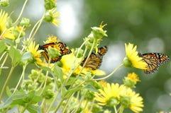 цветок бабочек стоковые фотографии rf