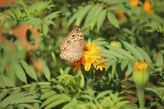 Цветок бабочки и ноготк Стоковое Изображение