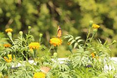 Цветок бабочки и ноготк Стоковая Фотография RF
