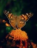 цветок бабочки отдыхает желтый цвет Стоковые Изображения RF