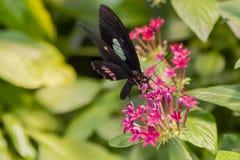 цветок бабочки подавая Стоковая Фотография