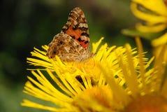 цветок бабочки сидит Стоковое Фото