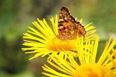 цветок бабочки сидит Стоковое Изображение