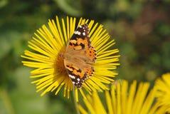 цветок бабочки сидит Стоковое фото RF