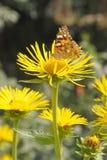 цветок бабочки сидит Стоковое Изображение RF