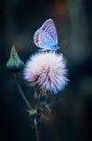 цветок бабочки Стоковое фото RF
