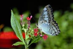 цветок бабочки Стоковые Фотографии RF