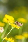 Цветок бабочки 0n cinnara Borbo (Hesperiidae) Стоковое Изображение RF
