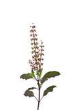 Цветок базилика Стоковые Изображения