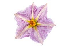 Цветок баклажана фиолетовый на белизне Стоковые Фотографии RF