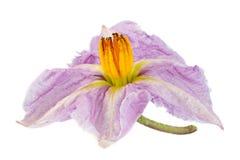 Цветок баклажана фиолетовый на белизне Стоковое Фото