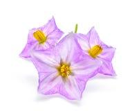 Цветок баклажана изолированный на белизне Стоковая Фотография