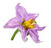 Цветок баклажана изолированный на белизне Стоковые Изображения