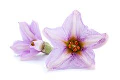 Цветок баклажана на белизне Стоковая Фотография RF