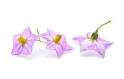 Цветок баклажана на белизне Стоковое Изображение RF