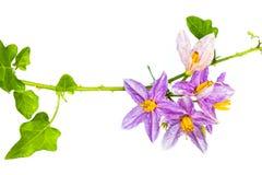 Цветок баклажана  Стоковая Фотография