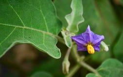 Цветок баклажана Стоковое Изображение