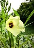 Цветок бамии Стоковые Изображения RF